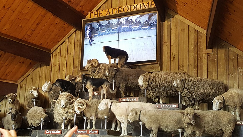 Very Talented sheep and dogs at the Agrodome